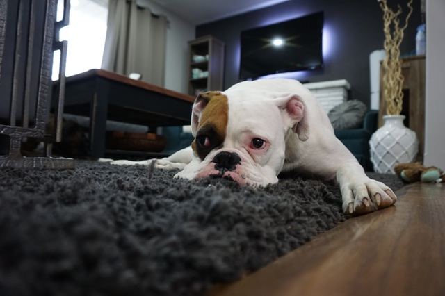 Dog laying on cleaned carpet